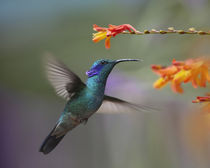 Green violet-ear hummingbird hovering at a flower. von Danita Delimont