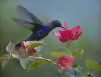 Violet Sabrewing hummingbird drinking from a flower. by Danita Delimont