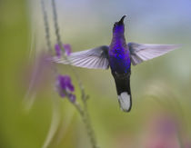 Male Violet Sabrewing hummingbird. by Danita Delimont