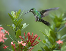 Female Green-crowned brilliant hummingbird . von Danita Delimont