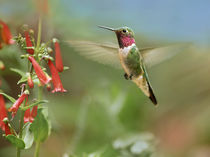 Male broad-tailed hummingbird hovers flying. by Danita Delimont