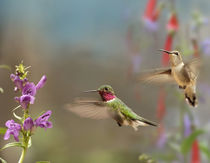 Broad-tailed hummingbird male and female flying. by Danita Delimont