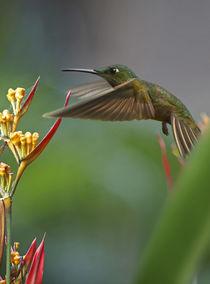 Fawn-breasted brilliant hummingbird . by Danita Delimont