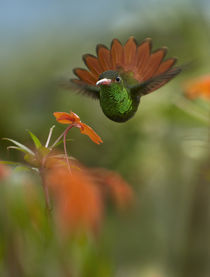 Rufous-tailed hummingbird portrait. by Danita Delimont