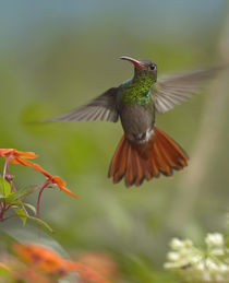 Rufous-tailed hummingbird . by Danita Delimont