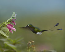 Booted racket-tail hummingbird flying to a flower. von Danita Delimont