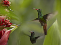 Two Rufous-tailed hummingbirds . von Danita Delimont