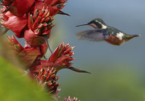 Purple-throated Woodstar hummingbird flying to a flower. by Danita Delimont