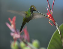 Sword-billed hummingbird feeding at a flower. von Danita Delimont