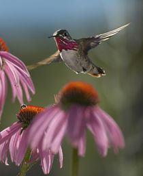 Male Calliope hummingbird at purple coneflowers. von Danita Delimont