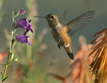 Broad-tailed hummingbird at Pike's Peak Penstemon. by Danita Delimont