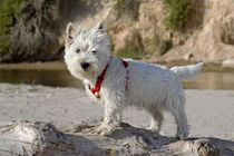 Westie puppy on a log looking at you . von Danita Delimont