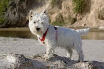 Westie puppy on a log looking at you . von Danita Delimont
