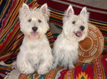 Two Westies sitting on Southwestern blankets. by Danita Delimont
