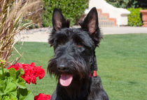 Scottish Terrier von Danita Delimont