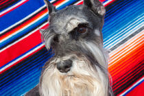 Schnauzer portrait with Mexican blanket by Danita Delimont