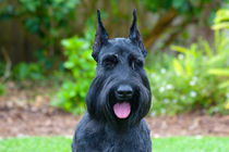 Portrait of a Giant Schnauzer by Danita Delimont