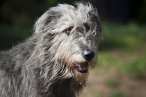 Portrait of an Irish Wolfhound. von Danita Delimont