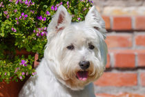 West Highland White Terrier portrait by Danita Delimont
