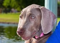 Weimaraner puppy portrait von Danita Delimont