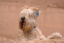 SOFT COATED WHEATEN TERRIER by Danita Delimont