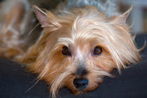 Yorkshire Terrier looking at you by Danita Delimont