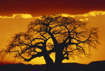 Silhouette image of tree at sunset by Danita Delimont