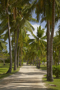 Avenue of Palms, Musket Cove Island Resort, Malolo Lailai Is... by Danita Delimont
