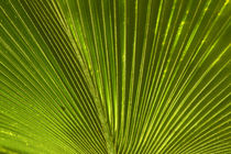 Palm frond, Nadi, Viti Levu, Fiji, South Pacific by Danita Delimont