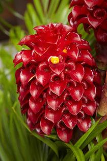 Tropical flower in garden, Coral Coast, Viti Levu, Fiji, South Pacific by Danita Delimont