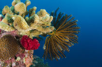 Bennett's Feather Star, Rainbow Reef, Fiji. by Danita Delimont