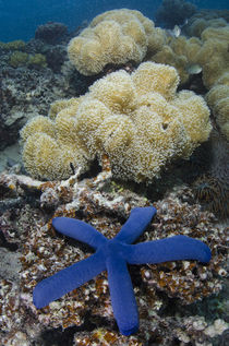 Blue Sea Star, on coral reef, Fiji. von Danita Delimont