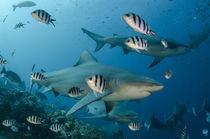 Bull Shark von Danita Delimont