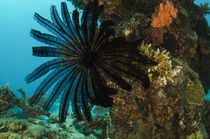 Feather Star and coral reef diversity, Rainbow Reef, Fiji. by Danita Delimont