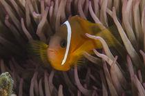 Fiji Anemonefish von Danita Delimont