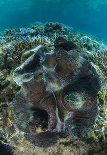 Giant Clam by Danita Delimont