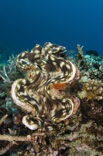 Giant Clam, Rainbow Reef, Fiji. by Danita Delimont