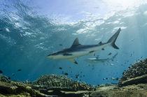 Grey Reef Shark von Danita Delimont