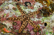Indian Sea Star, Rainbow Reef, Fiji. von Danita Delimont