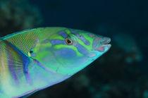 Pastel Ring Wrasse Rainbow Reef, Fiji. von Danita Delimont