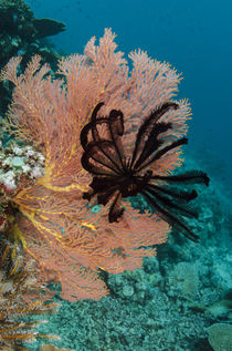 Sea Fan and Feather Star, Rainbow Reef, Fiji. by Danita Delimont