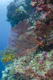 Sea Fan Gorgonian by Danita Delimont