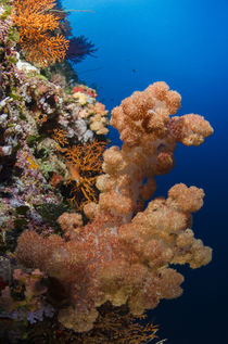 Soft Coral, Rainbow Reef, Fiji. by Danita Delimont