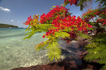 Flamboyant Christmas Tree at Vonu Point, Turtle Island, Yasa... by Danita Delimont
