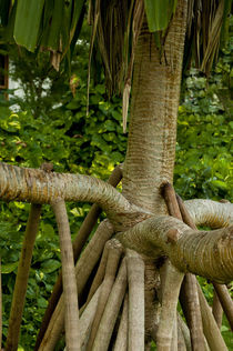 Tree roots grow quickly in the tropics, American Samoa by Danita Delimont