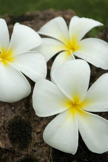 Lovely tropical blossoms in the South Pacific. von Danita Delimont