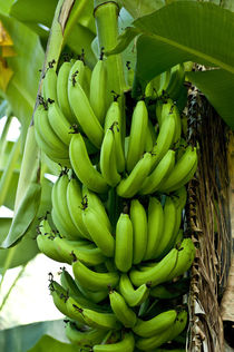 Bananas growing on Tutuila Island, American Samoa. by Danita Delimont