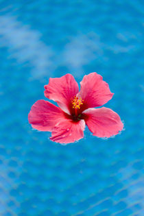 Flower in the water for decoration, Palau by Danita Delimont