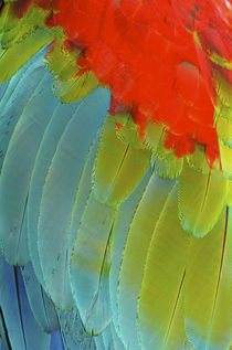 Scarlet Macaw is a large, colorful macaw von Danita Delimont
