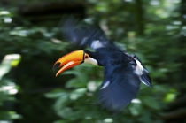 Toco Toucan flying through the rainforest, Brazil von Danita Delimont